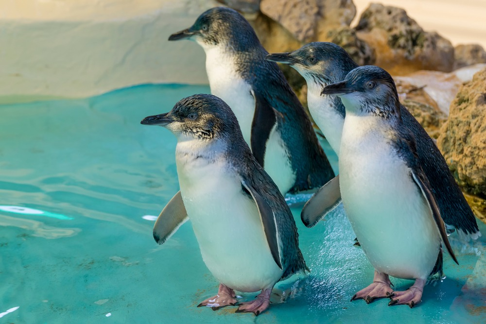 Penguin Island, Rockingham