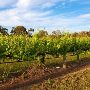 Vineyards Ellenbrook